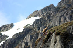 Young Capra Ibex Royalty Free Stock Photography