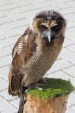 Young sensitive tawny owl on a tree trunk in close up Stock Photos