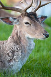 Young captive male Fallow Deer (lat. dama dama). Sitting on a green meadow Royalty Free Stock Images