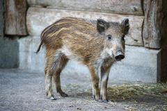 Young captive wild boar Stock Image