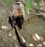 Young capuchin monkey in the jungle. Baby white faced capuchin monkey (Cebus apella) grasping onto a branch in the jungle of Costa Rica Stock Photos