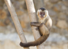 Young capuchin monkey Stock Photography