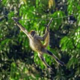 Young Capuchin Monkey Swinging on a Rope