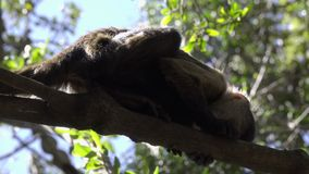 Young Capuchin monkey in a tree. Scene of a young Capuchin monkey in a tree stock video