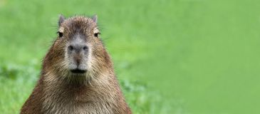 Young Capybara 02 Stock Photo