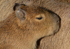 Young Capybara Royalty Free Stock Photos