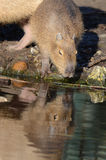Young Capybara taking a drink Stock Image