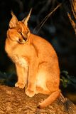 Young caracal in the early morning in South Africa stock photo