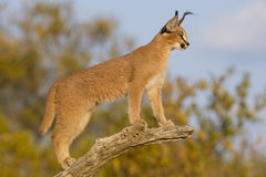 Young Caracal (Felis caracal) South Africa. Young Caracal (Felis caracal) in South Africa high up on a dead branch looking alert Royalty Free Stock Photo
