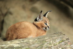 Young caracal Royalty Free Stock Photos