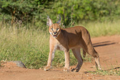 Young Caracal in South Africa Stock Images