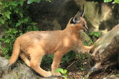 Young caracal Stock Photos