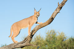 Young Caracal in a tree, South Africa. A young sub adult Caracal (Felis caracal) in a tree in South Africa, Kruger Park royalty free stock images