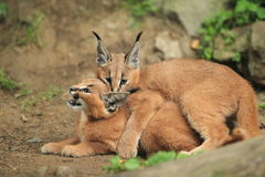 Young caracals stock photography