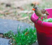 Young Cardinal-Time to fly Stock Photography