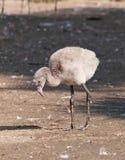 Young caribbean flamingo Stock Images