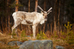 Young caribou (reindeer). Portrait of young caribou (reindeer Stock Photography