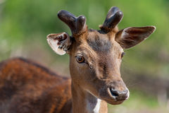Young Carpathian stag Royalty Free Stock Image