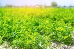A young carrot grows in the soil close-up. farming, eco-friendly agricultural products, detox, fresh vegetables, vegetarian food.  stock images