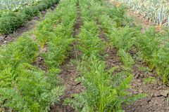 Young carrot plant sprouts grow on farm garden bed. Growing organic carrot crop - vegetables sprouts on farm field. Green carrot royalty free stock photos