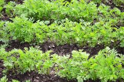 Young carrot tops, growing vegetables in the open ground on fertile soil. The concept of agriculture and farms stock photography