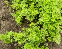 Young carrot tops, growing vegetables in the open ground on fertile soil, the concept of agriculture and farms.  stock photo