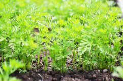.Young carrot tops, growing vegetables in the open ground on fertile soil. The concept of agriculture and farms royalty free stock photos