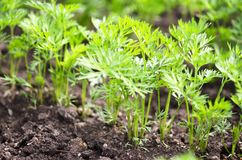 .Young carrot tops, growing vegetables in the open ground on fertile soil. The concept of agriculture and farms stock image