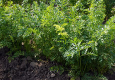 Young carrots in a garden royalty free stock images