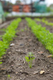 Young Carrots growing Royalty Free Stock Photo