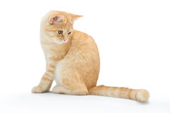 Young, carroty cat isolated on a white background.  Royalty Free Stock Photography