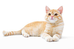 Young, carroty cat isolated on a white background Stock Photography