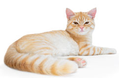 Young, carroty cat isolated on a white background.  Stock Images