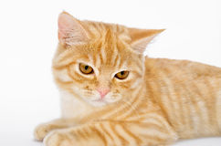 Young, carroty cat isolated on a white background.  Royalty Free Stock Photos