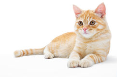 Young, carroty cat isolated on a white background.  Stock Photography