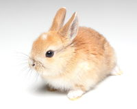 Young carroty rabbit  on white. Background Royalty Free Stock Image
