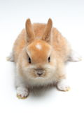 Young carroty rabbit  on white. Background Royalty Free Stock Images