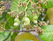 Young cashew nut on tree Royalty Free Stock Photos