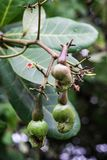 Young cashew nuts and flowers on the cashew tree. Photo taken after morning rain. Anacardium occidentale. stock image