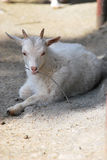 Young cashmere goat. Holds a twig royalty free stock photography