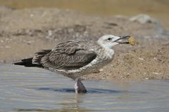 The young Caspian gull taxon Larus cachinnans with corn. Unusual photo Stock Images