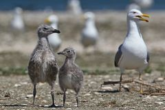 Young Caspian Gulls. Next to Mom stock image