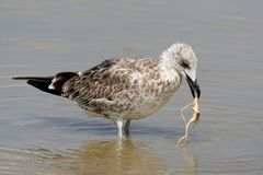 The young Caspian seagull holds the root. Of a water plant in its beak stock photography