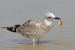 The young Caspian seagull. Holds the root of a water plant in its beak royalty free stock photo