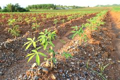 Young Cassava Tapioca Field Red Soil Royalty Free Stock Photography