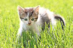 Young Cat Royalty Free Stock Photos