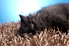 Young Cat Royalty Free Stock Photography