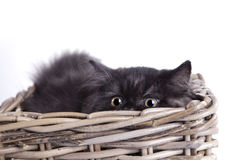 Young Cat Royalty Free Stock Images