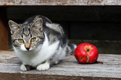 A Young cat with apple Stock Image