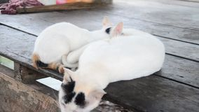 Young cat and Baby Cat Playing at Phattalung province of southern Thailand. stock video footage